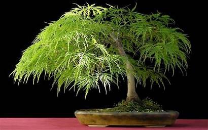 Bonsai Tree Wiki Widescreen