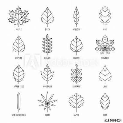 Leaf Leaves Outline Types Names Aspen Vector