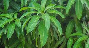 Boil Mango Leaves and Say Goodbye to Diabetes without ...