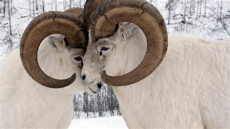Yukon Sheep Bing Wallpaper Download