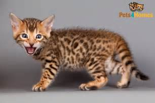 bengal tiger cat pictures of bengal cat breed about animals