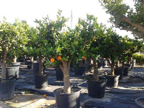 oranger marseille toulouse vente d orangers oliviers ornements