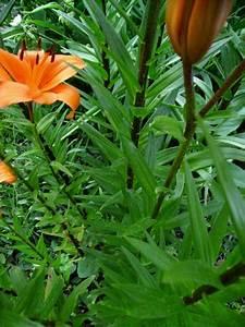 Feuille De Lys : lilium lys feuilles ~ Nature-et-papiers.com Idées de Décoration