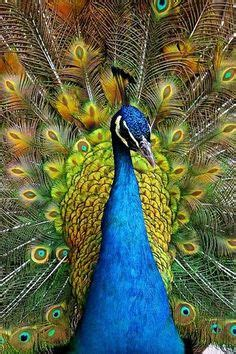 1000+ Images About Peacocks On Pinterest  White Peacock