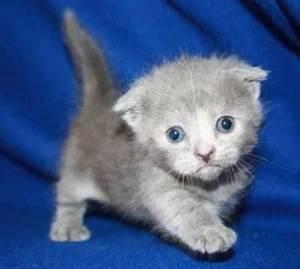 Munchkin kittens | Cute
