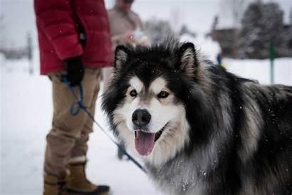 Malamute Alaskan Dog Breeds Dogs Breed Strongest