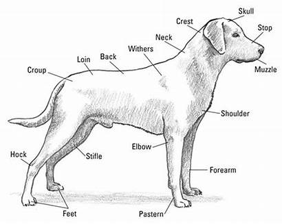 Labrador Anatomy Retriever Dummies Dog Parts Outline