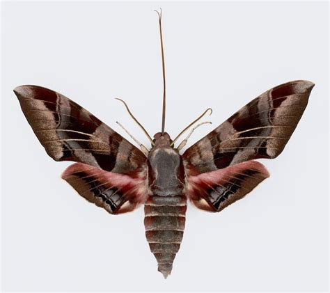 Xtremehorticulture Of The Desert Beautiful Moth Now
