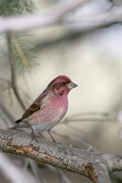 winter finches and other boreal bird forecast missing