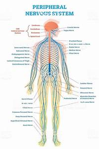Peripheral Nervous System  Medical Vector Illustration