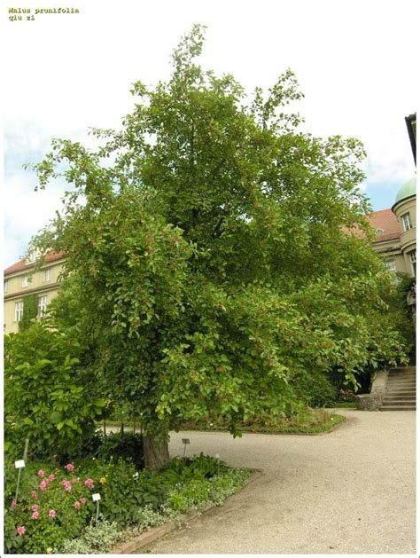 Alter Botanischer Garten In München by Qiu Zi 44977 Common Name Malus Prunifolia