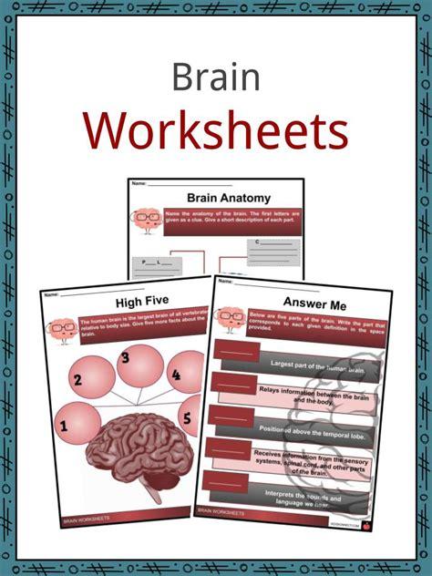 brain facts worksheets function development  kids