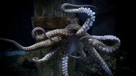 picture  octopus
