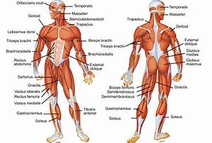 Muscles Of The Body Diagram To Label