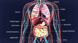 Human Internal Organ Stock Photos  Pictures  U0026 Royalty
