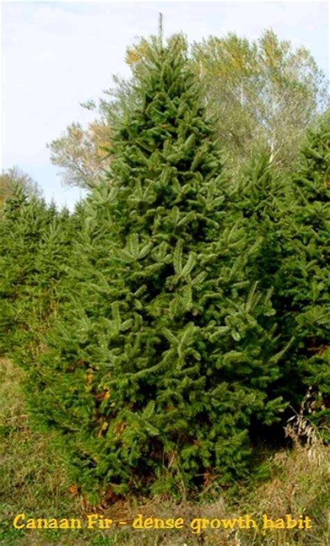 canaan fir abies balsamea var planerolepiscanaan fir