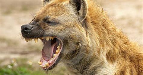 laughing hyena   african savanna