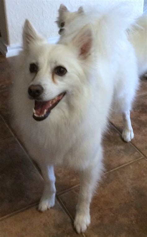 san antonio dog training american eskimo spitz
