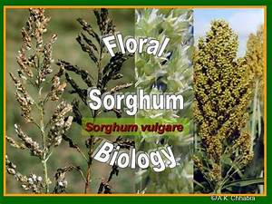 Flower Structure of Sorghum |authorSTREAM