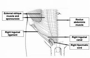 Layers Of The Anterior Abdominal Wall
