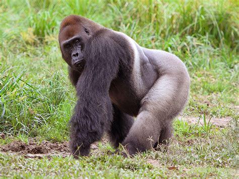 gorilla gorilla sula sula   animals  names