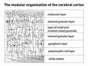 Diagram Of The Structure Of The Cerebral Cortex Stock