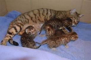 toyger cat toyger kitten brandon suffolk pets4homes