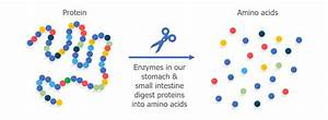 Protein Amino Acids