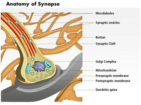anatomy  synapse nervous system medical images