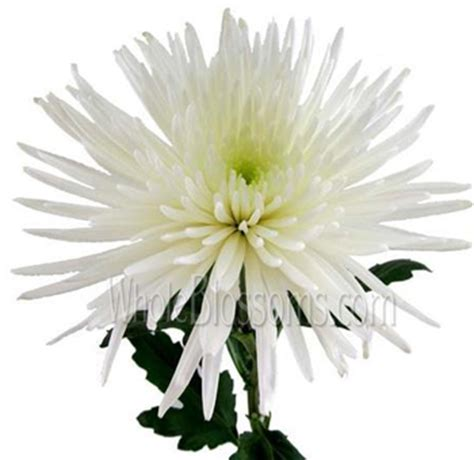 order white spider mum anastasia chrysanthemum  wholesale