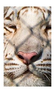 Behind the Wire | This white Bengal Tiger is handsome, but ...