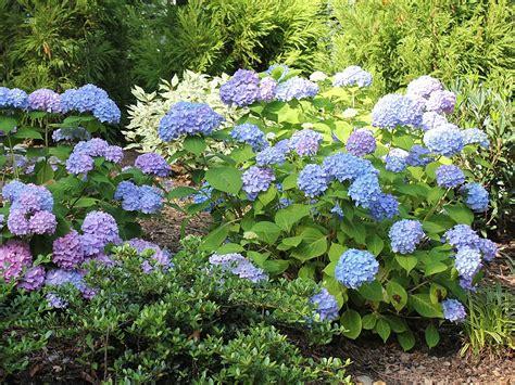 hydrangea plant plants flowers 187 hydrangea macrophylla hortensia