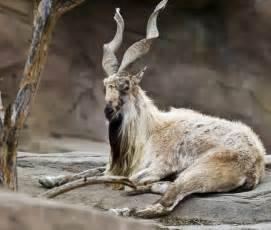 Markhor | The Life of Animals