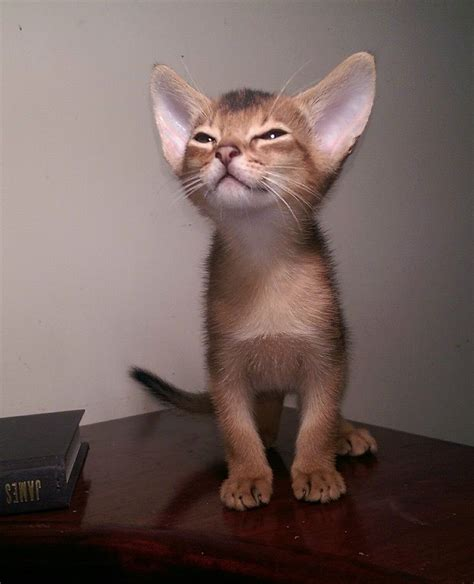 You Arent Saying That This Little Kittens Got Big Ears