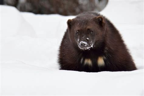 interesting facts  wolverines fun facts