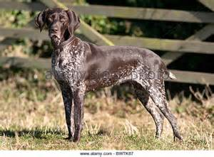 german shorthaired pointer shedding lab shorthair mix puppies breeds picture