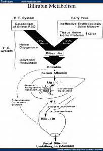 Pin Bilirubin Metabolism on Pinterest Bilirubin