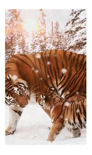 Tiger With Cub 4k winter wallpapers, tiger wallpapers ...