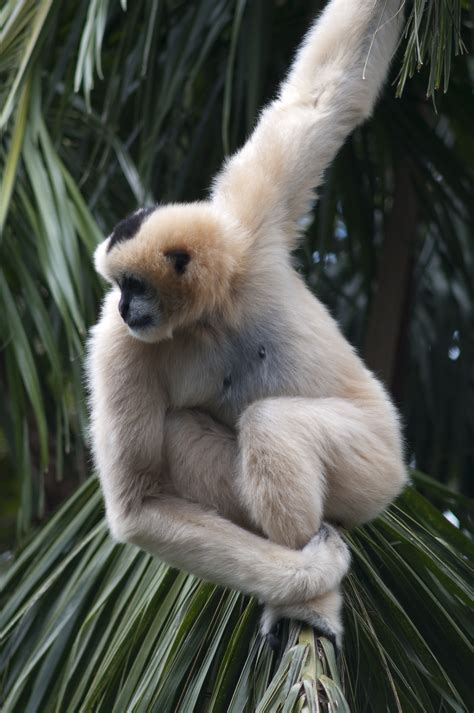 gibbon wallpapers high quality