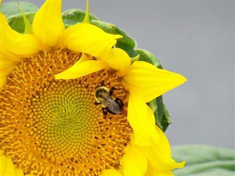 tournesol jardin planter des fleurs fleurs plantes t 233 l 233 charger des photos gratuitement
