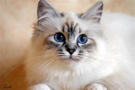 50+ Most Beautiful Birman Cat Collection Golfiancom