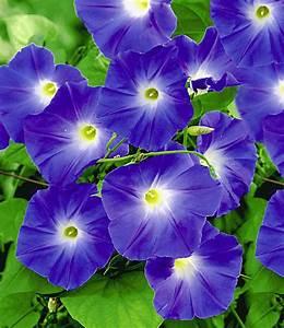 Blühende Kletterpflanzen Winterhart Mehrjährig : trichterwinde blue hardy 1a qualit t kaufen baldur garten ~ Michelbontemps.com Haus und Dekorationen