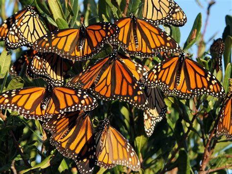 dwindling monarch butterflies   migration