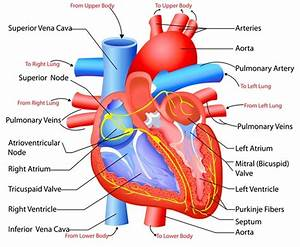 Structure And Function Of The Heart