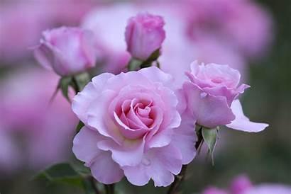 Flowers Nature Roses Garden Beauty Background Romance
