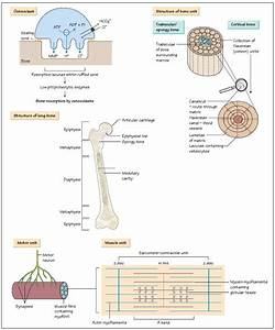 Musculoskeletal Structure And Function