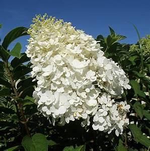 Hydrangea Paniculata Bobo : hydrangea paniculata 39 bobo 39 ~ Michelbontemps.com Haus und Dekorationen