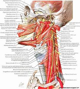 Human Anatomy Neck Neck Anatomy Best Hd Wallpapers