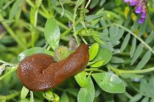 Schnecken Im Garten : schnecken im garten bek mpfen tipps von galanet ~ Frokenaadalensverden.com Haus und Dekorationen