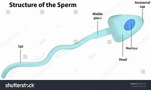 Sperm Cell Labeled Diagram Stock Vector 200461103